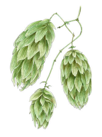 Common hop (Humulus lupulus) cones botanical drawing over white background. Pencil and watercolor on paper. Stock Photo