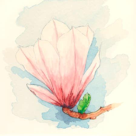 magnolia soulangeana: Saucer magnolia (Magnolia x soulangeana) flower. Gouache painting on paper. Stock Photo
