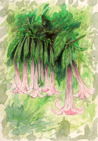 Angels trumpet (Brugmansia) flowers. Gouache on paper.