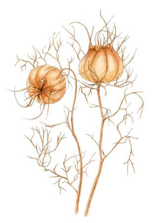 Love-in-a-mist (Nigella-damascena) rijpe droge vruchten botanische tekening over witte achtergrond. Potlood en waterverf op papier.
