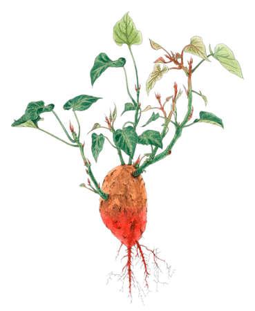 고구마 (Ipomoea batatas) 식물원 그리기 흰색 배경 위에 식물. 종이에 연필과 수채화입니다.