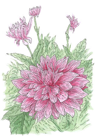 Drawing of flowering Dahlia (Dahlia hybr.) plant in loose style. Ink and watercolor on paper. Reklamní fotografie