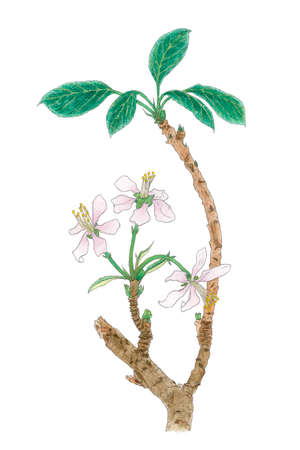 The Apple tree (Malus domestica, Malus pumila) flowering twig botanical drawing. Watercolor and colored pencils on paper. Stock Photo