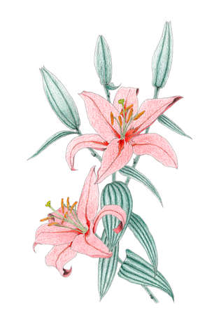 lilium: Drawing of a red Oriental Lilium hybrid over white background. Colored pencils on paper. Stock Photo