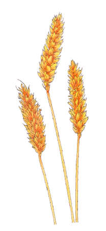 Ears of Common wheat (Triticum aestivum) botanical drawing. Brown ink and colored pencils on paper.