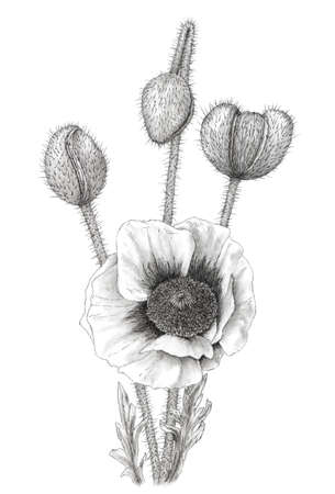 Drawing of a Poppy (Papaver) over white background. Graphite pencil on paper.