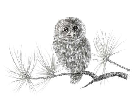 tawny: Young Tawny owl (Strix aluco) on a coniferous tree branch. Graphite pencil on paper.