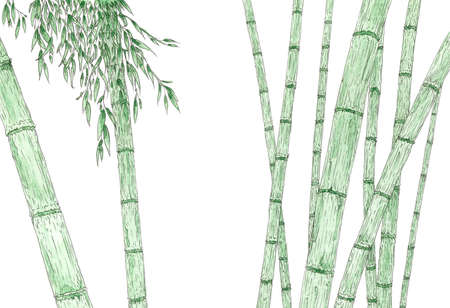 Bamboo stems and foliage over white background. Graphite pencil and watercolor on paper. Reklamní fotografie