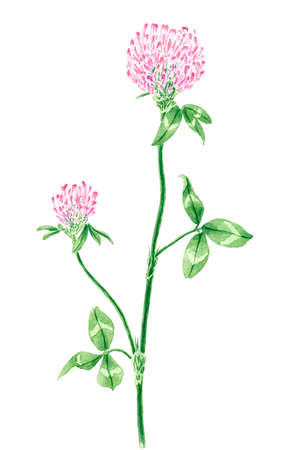 Drawing of a Red clover (Trifolium pratense) twig. Watercolor on rough paper.