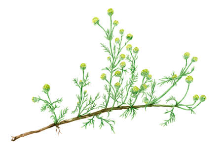 Drawing of a Pineapple weed (Matricaria discoidea) plant. Watercolor on rough paper. Reklamní fotografie