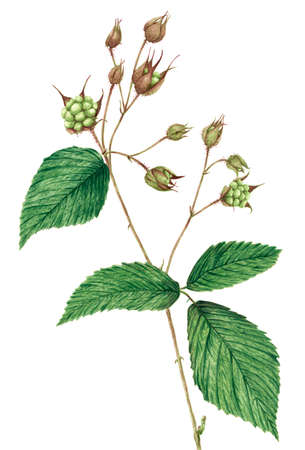 Drawing of a Blackberry (Rubus plicatus) twig. Watercolor on rough paper.