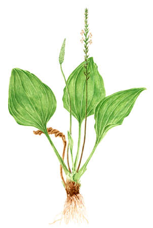 Drawing of a Broadleaf plantain (Plantago major) plant. Watercolor on rough paper. Reklamní fotografie