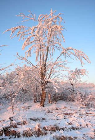 Small tree coated by hoarfrost at warm sunlight. Poland, The Holy Cross Mountains.