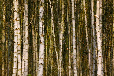 Shady Birch forest detail. Poland, The Holy Cross Mountains. Reklamní fotografie