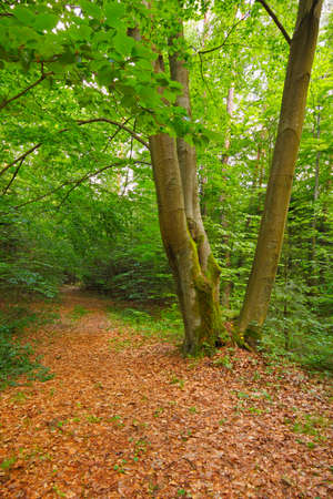 Three Beech in forest with dry fallen foliage. Poland, The Holy Cross Mountains.