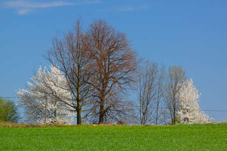 Spring landscape with white flowering trees and blue sky. Poland, The Holy Cross Mountains. Reklamní fotografie