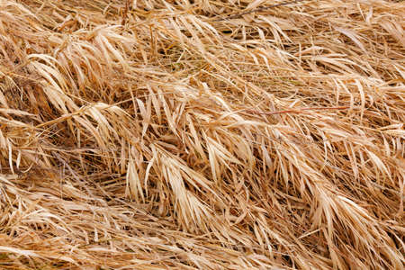Dry grass texture on flood-meadow at early spring Reklamní fotografie - 104649209