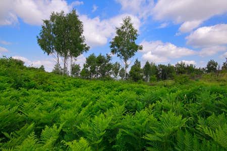 Meadow covered by Eagle fern (Pteridium aquilinum) plants with birches and cloudy sky on background. Poland, The Holy Cross Mountains. Reklamní fotografie - 104665525