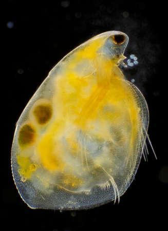 Microscopic view of freshwater water flea (Simocephalus vetulus) with eggs. Darkfield illumination.