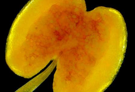 Microscopic view of Wild Rose (Rosa canina) flower stamen. Polarized light, crossed polarizers. Reklamní fotografie - 107140644