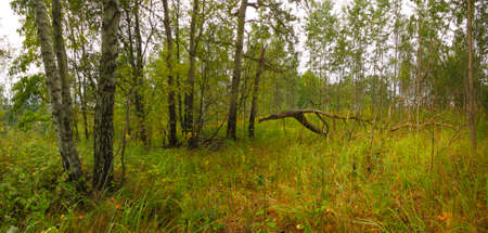 Grassy forest with birch and aspen trees. Poland, The Holy Cross Mountains. Reklamní fotografie