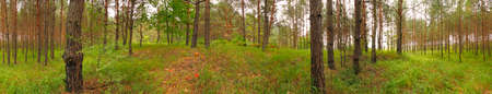 Panoramic image of a grassy young pine forest. Poland, The Holy Cross Mountains.
