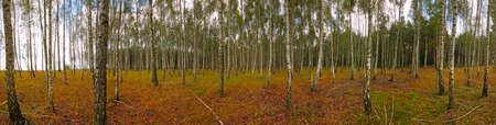 Panoramic image of a Birch forest at early autumn. Poland, The Holy Cross Mountains. Reklamní fotografie - 120542873