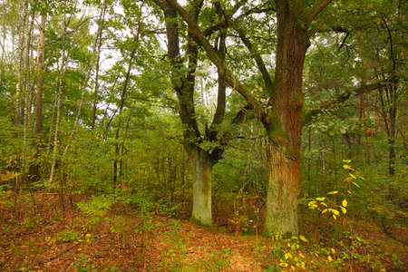 Two oaks in forest at late summer. Poland, The Holy Cross Mountains.