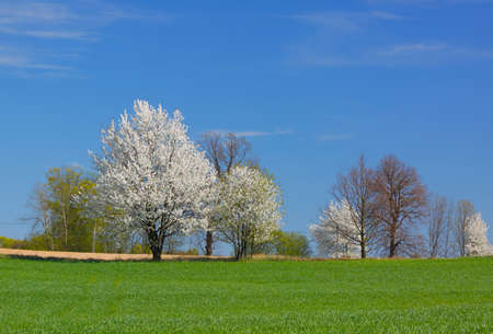Spring landscape with white flowering trees and blue sky. Poland, The Holy Cross Mountains. Reklamní fotografie - 120542889
