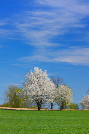 Spring landscape with white flowering trees and blue sky. Poland, The Holy Cross Mountains. Reklamní fotografie - 120542876