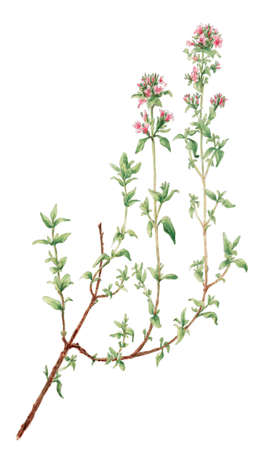 Thyme (Thymus vulgaris) botanical drawing over white background. Pencil and watercolor on paper. Imagens