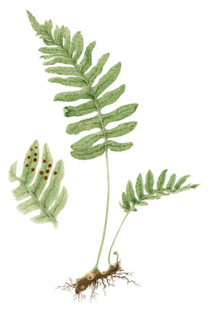 Common polypody (Polypodium vulgare) botanical drawing over white background. Pencil and watercolor on paper.