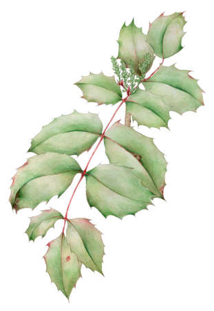 Oregon-grape (Mahonia aquifolium) leaves with young inflorescence buds botanical drawing over white background. Pencil and watercolor on paper. Reklamní fotografie - 124374574