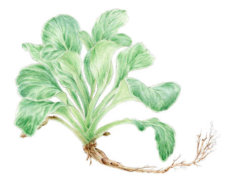 Corn salad (Valerianella locusta) plant botanical drawing over white background. Pencil and watercolor on paper. Reklamní fotografie - 124374572