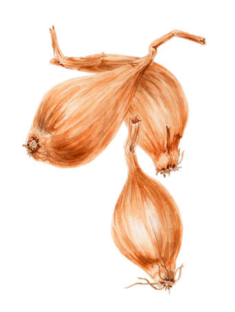 The onion (Allium cepa) small bulbs botanical drawing over white background. Watercolor on paper.