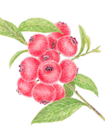 Twig of a highbush blueberry (Vaccinum) with reddish colored fruits over white background. Pencil and watercolor on paper.
