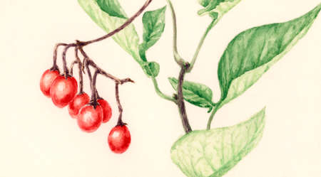 Bittersweet (Solanum dulcamara) branch with fruits. Watercolor on yellowish cardboard.