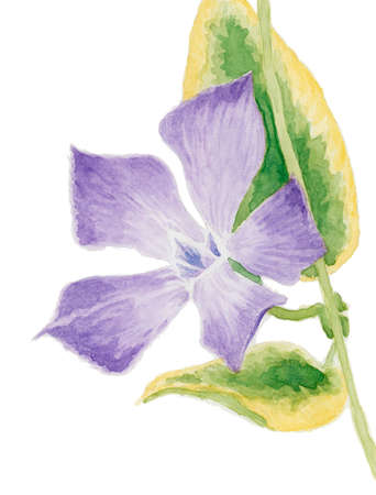 Lesser periwinkle (Vinca minor, cultivar Aureovariegata). Watercolor on paper. Reklamní fotografie