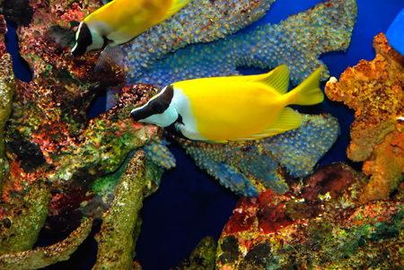 exoticism saltwater fish: Beautiful yellow fish in the sea