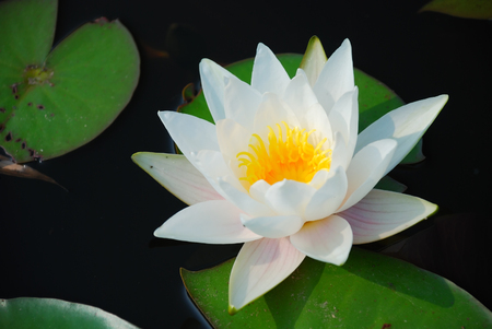 This is a nice water lily on the lake