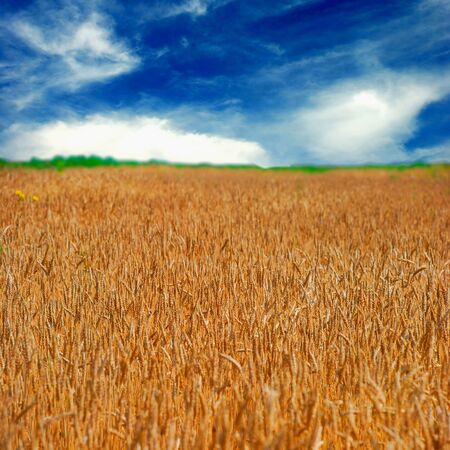 Beautiful landscape of cereal field as a concept of harvesting Stock Photo