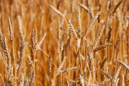 Cereal field as a concept of agriculture