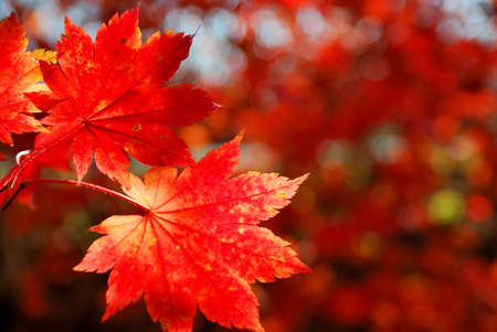 Red maple leaves as a background or concept of wild nature
