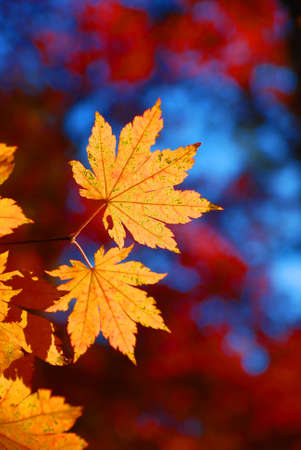 Yellow maple leaves on the red leaves forest background
