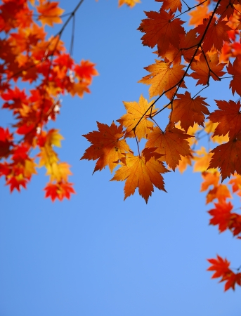 Yellow maple leaves on the sky background