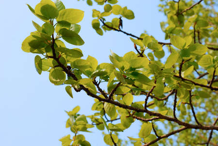 fourleaved: Green leaves in spring as a background