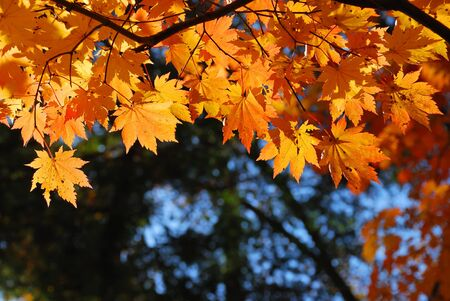 multi coloured: Red and yellow maple leaves as a background Stock Photo