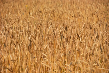 autumn colour: Cereal field as a concept of agriculture