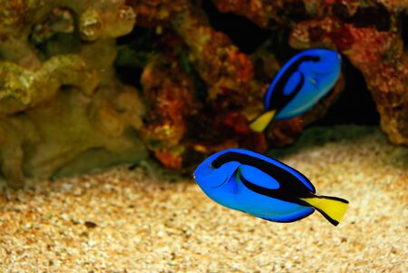 exoticism saltwater fish: Beautiful blue fish in the sea
