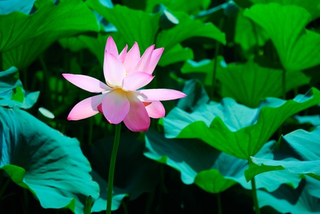 lotos: Beautiful pink lotus is a water flower